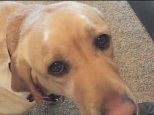 Seizure Response Dog Morrie