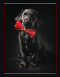 black lab puppy with red bow tie