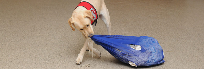 Dog pulling bag of clothes with his mouth