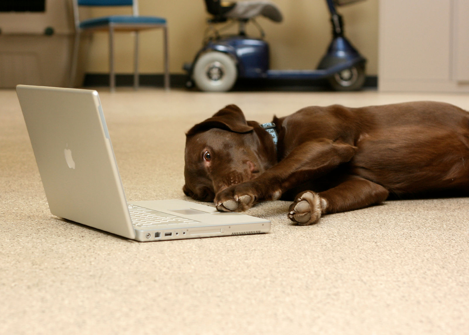 Brown dog laying in front of laptop computer