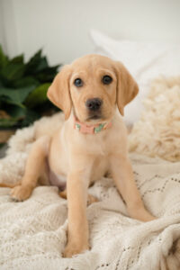 yellow lab puppy sitting on bed