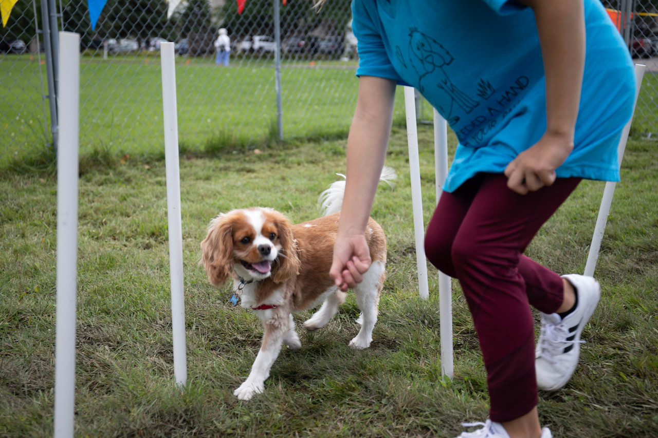 small dog being led through obstacle course