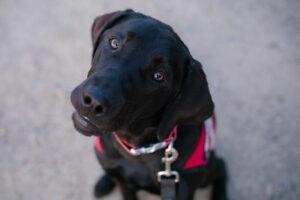 black Labrador Retriever service dog looking up