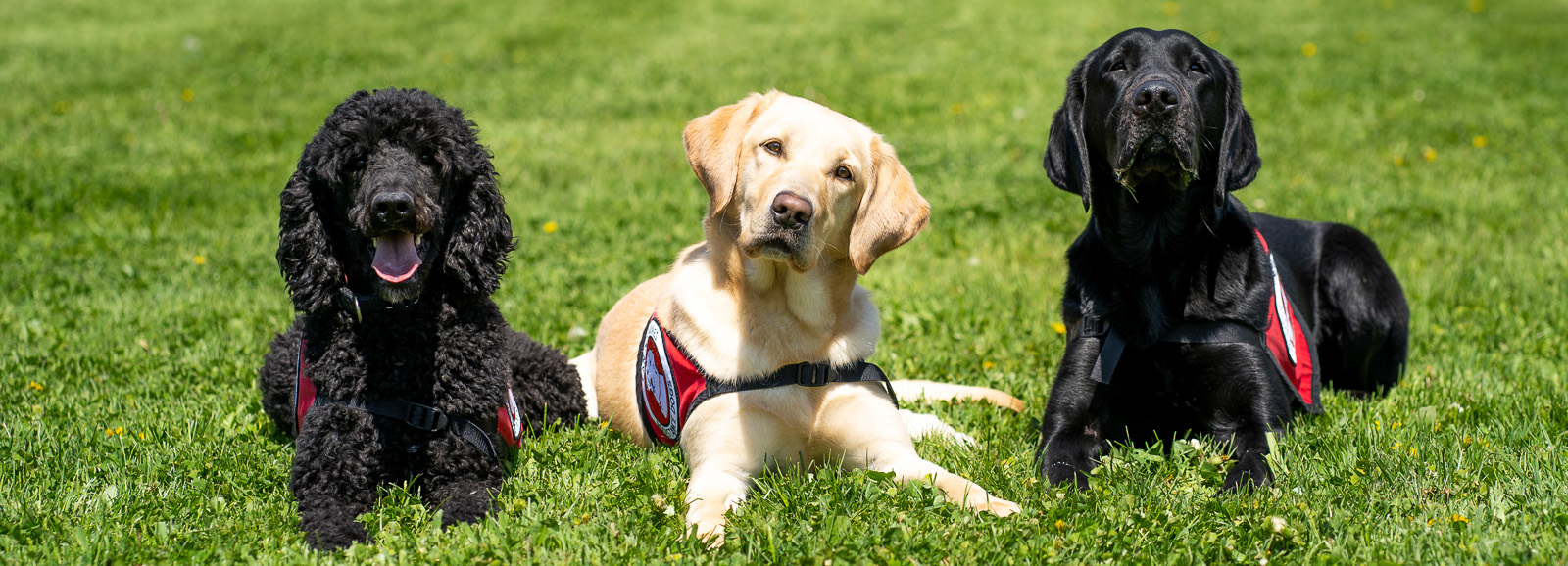 three dogs wearing service capes lying on the grass