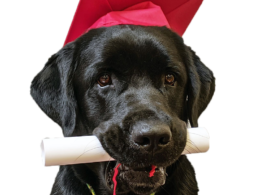 Dog wearing graduate hat and holding diploam