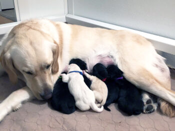 mother dog nursing pups