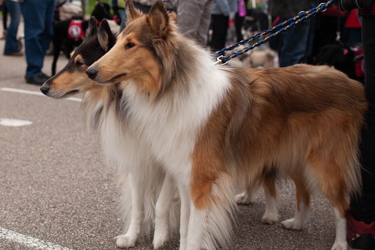 two collie dogs standing in parking lot