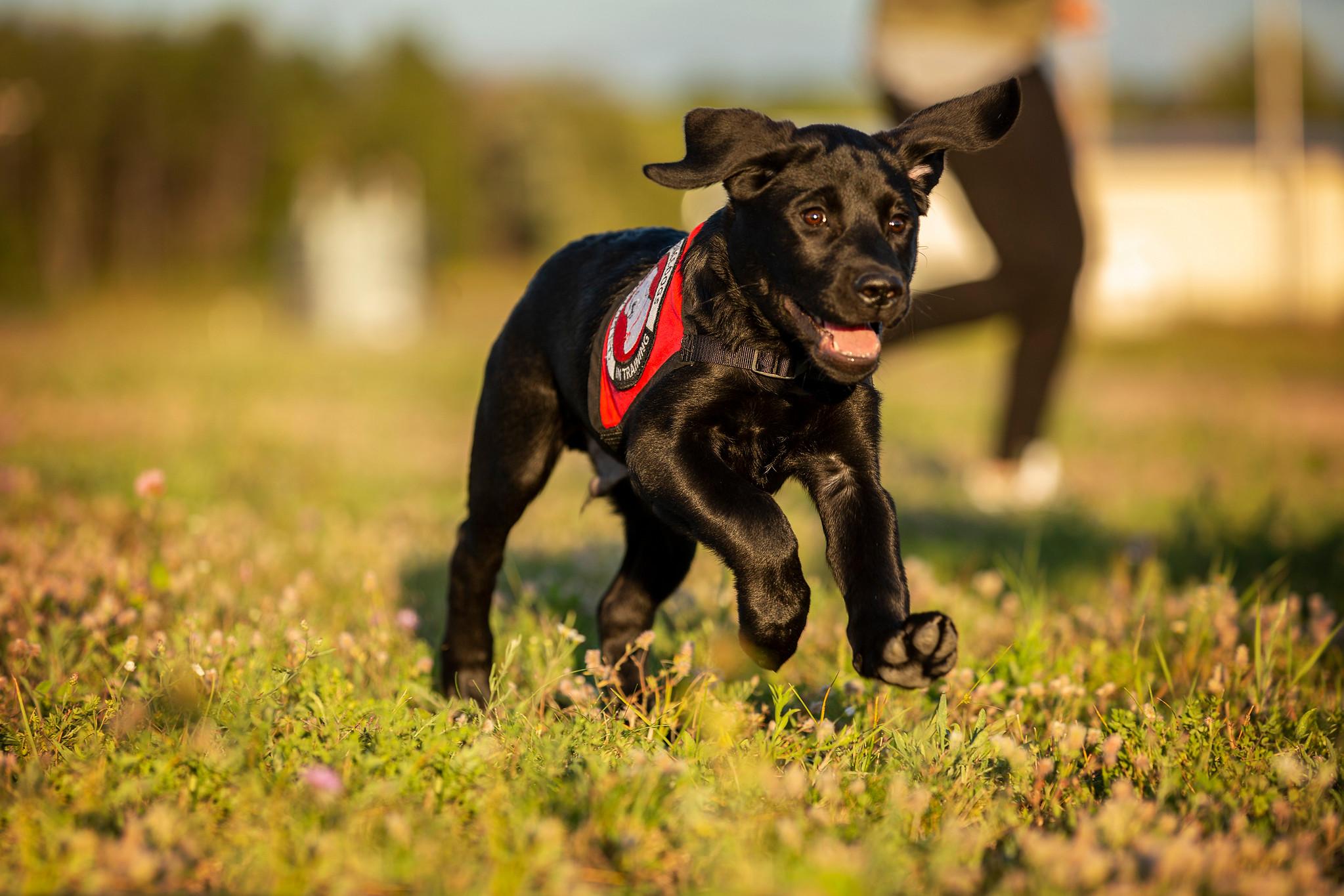puppy running in grass