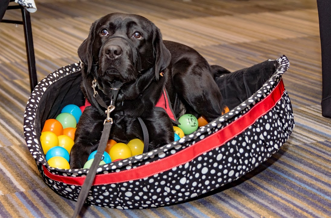 Black Lab dog sitting in dog bed of small balls