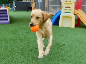 young dog running outside with orange ball in mouth