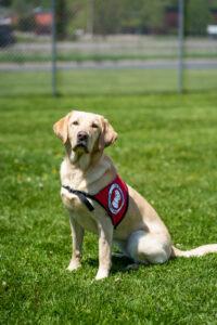 Yellow Labrador Retriever service dog sitting on grass