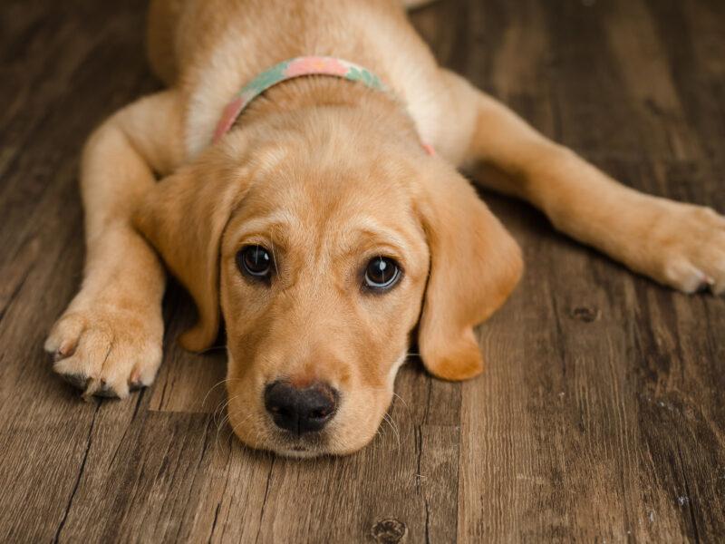 yellow Labrador Retriever puppy lying on floor, giving sad eyes to the camera