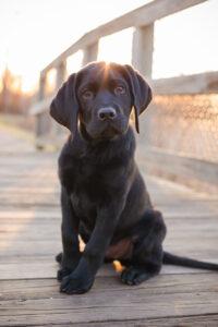 Black Lab puppy sitting on boardwalk